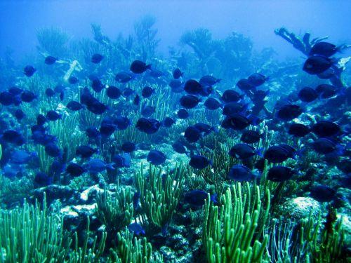 blue tang fish underwater