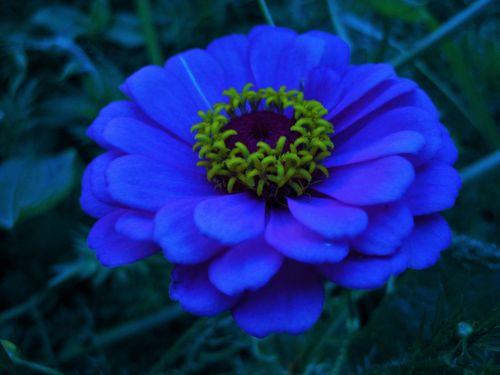 Blue Tinted Zinnia