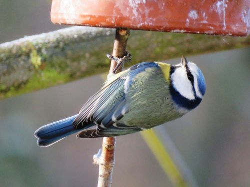 blue tit bird tit