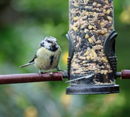blue tit young baby