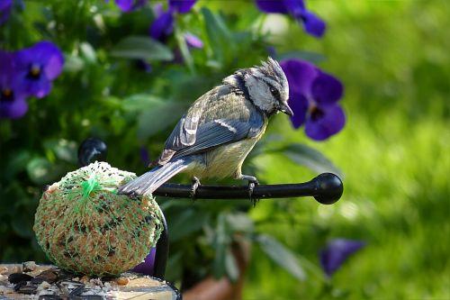 blue tit cyanistes caeruleus bird