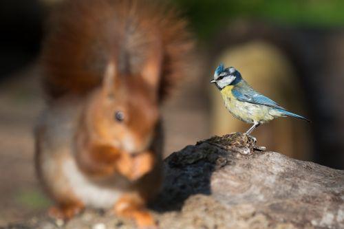 blue tit cyanistes caeruleus squirrel
