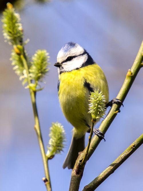 mėlynas dantis,šunys,paukštis,giesmininkas,sodo paukštis,gamta,gyvūnas