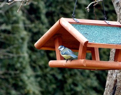 blue tit tit aviary