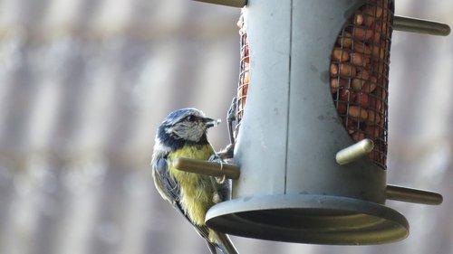 blue tit  bird  food