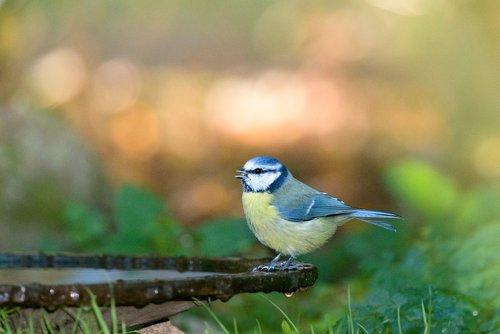 blue tit  bird  tit
