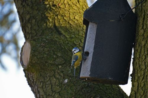 blue tit aviary bird