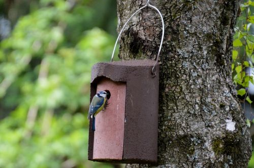 blue tit nesting place bird