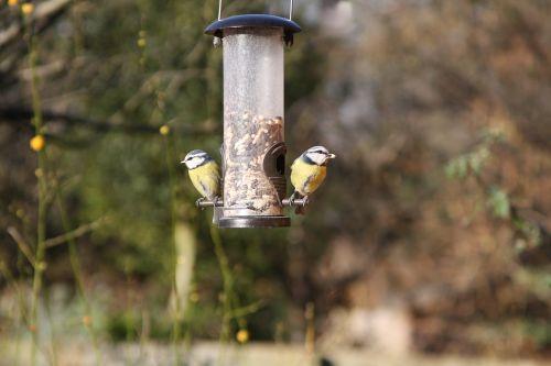 mėlynos tits,sodo paukščiai,Warwickshire britai,paukštis,mėlynas,šunys,sodas,laukinė gamta,mažas,laukiniai,geltona,gamta,giesmininkas,žiema,snapas,saulėtas,Bluetit,plunksna,tiektuvas,maitinimas,spalvinga,šviesus,mielas,spalva