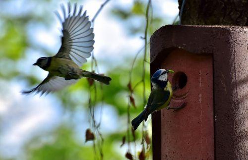 mėlynos tits,paukščiai,lizdas,paukštis,šunys,sodas,maitinimas,cyanistes caeruleus,giesmininkas,laukinės gamtos fotografija,gyvūnas,plumėjimas,skristi,medis,sparnas,maža paukštis,perinti