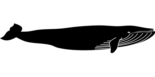 blue whale whale animal