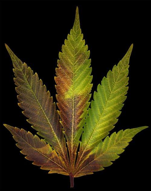 blue widow  dinafem  leaf