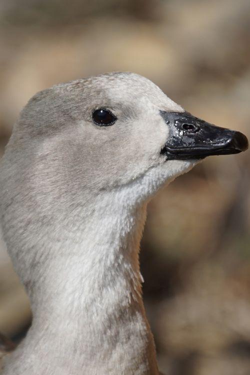 blue wing goose duck bird half goose