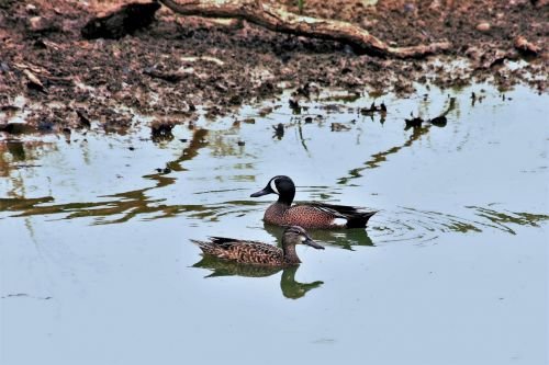 Blue Winged Teal Ducks In Pond