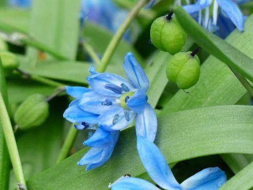 bluebell flower blossom
