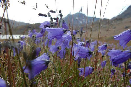 bluebell greenland tasiilaq