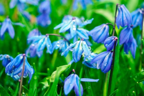 bluebell flowers blue