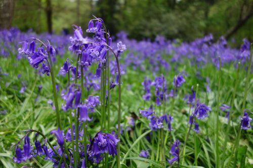 bluebell bluebells winkworth arboretum