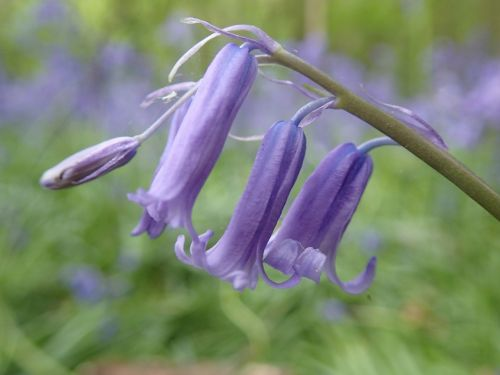 bluebell flower woodland