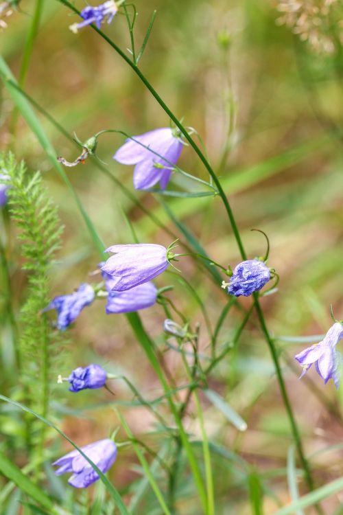 bluebell bellflower nature