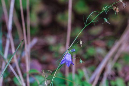 bluebell bellflower wildflower