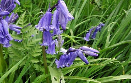 bluebell  flowers  purple