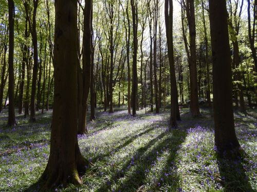 bluebell wood flowers springtime