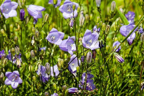 bluebells flowers bloom