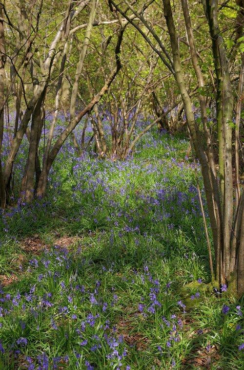 bluebells  bluebell woods  spring