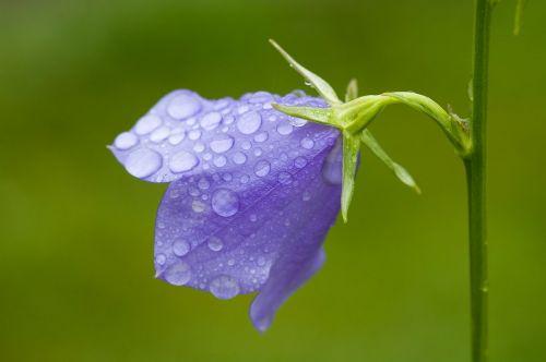 bluebells campanula campanulaceae