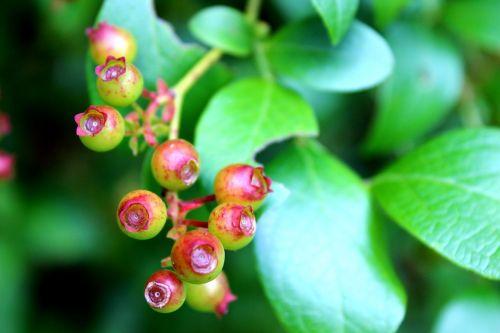 blueberries berries unripe berries