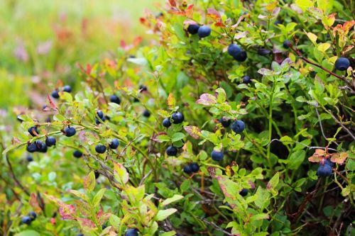 blueberries heather blueberry