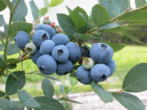blueberries fruit fresh