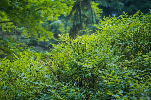 blueberries forest bilberry