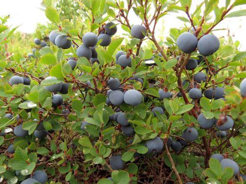 blueberries berry wild berry