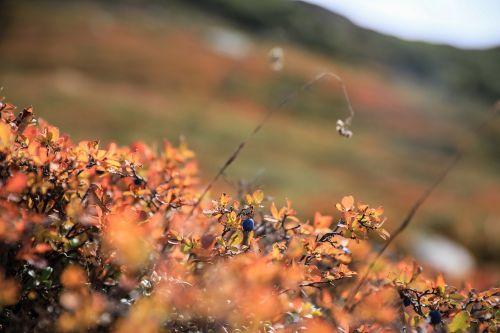 mėlynės,rudens spalvos,Alpių augalas,gamta,augalas,ruduo,uogos,uogų augalas,miško augalas