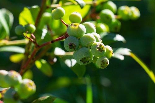 blueberries  green  immature