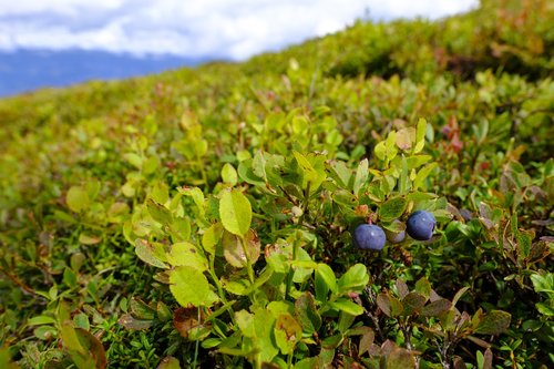 blueberries  berries  wild blueberry