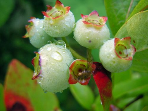 blueberries fruit set immature