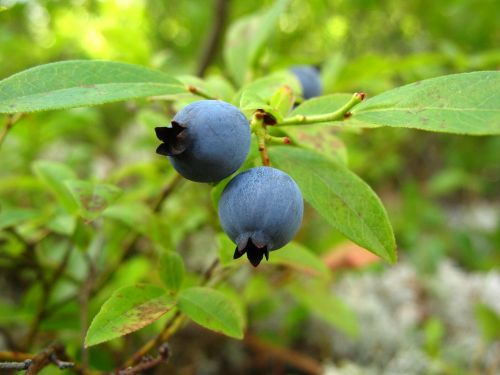 blueberries wild plant