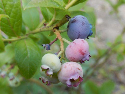 blueberries garden fruit