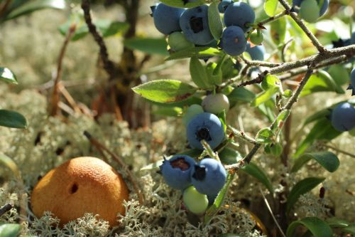 Blueberries Mushroom And Lichen