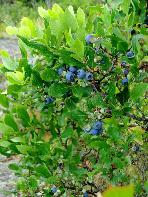 blueberry bush shrub