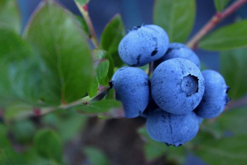 blueberry culinary food