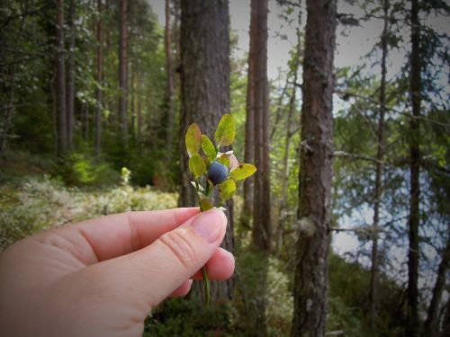 blueberry blueberry twig hand