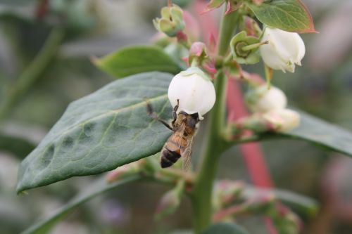 blueberry apis mellifera pollination