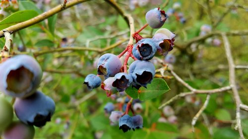 blueberry  fruit  grow