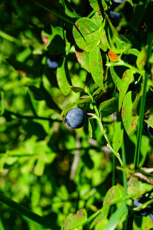 blueberry  berry  fruit