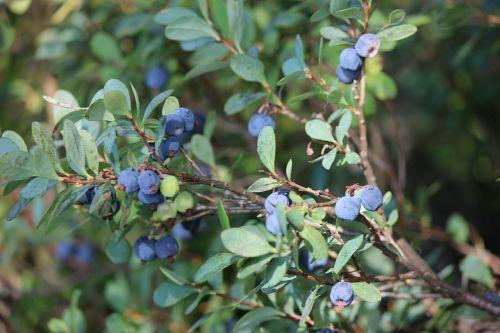 blueberry blueberry twig wild berry