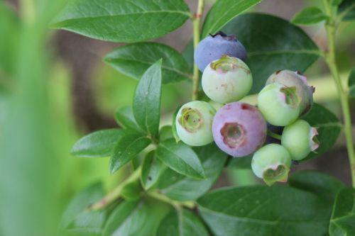 blueberry fruit fruits